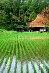 Japońskie pole ryżu. Źródło: greenshinto.com